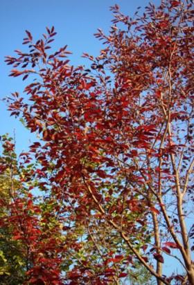 札幌市エゴノキ 紅葉
