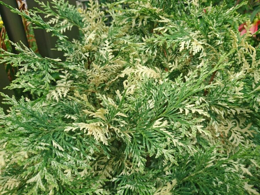 パーリースワールの葉