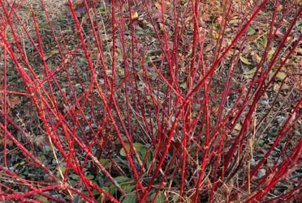ギンフミズキ 赤い幹