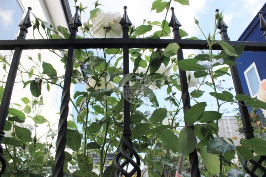 つるバラ 鋳物フェンス